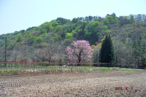 一本桜2015