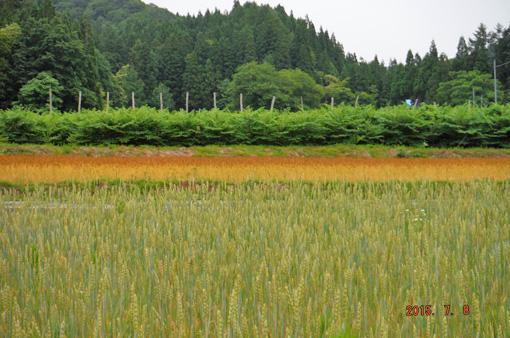 小麦とタラの木