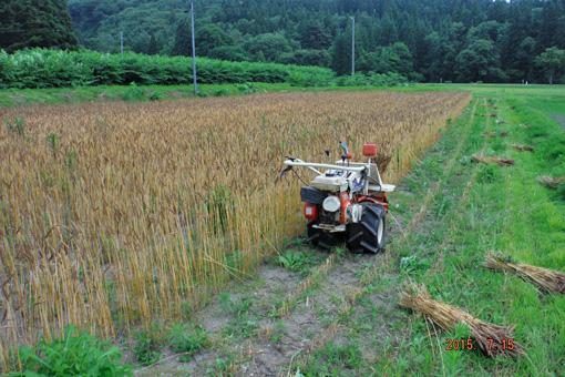 南部小麦刈り取り