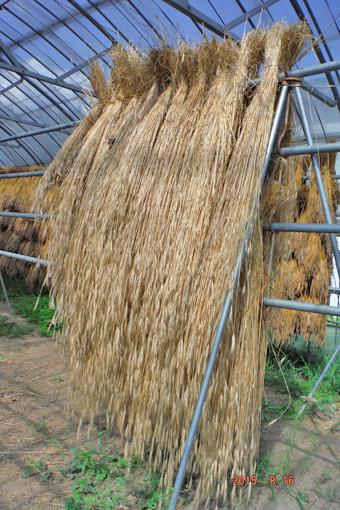 脱穀時のライ麦