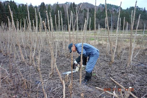 タラの木伐採