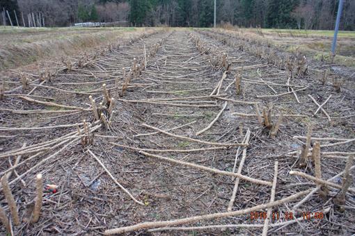 伐採タラの木
