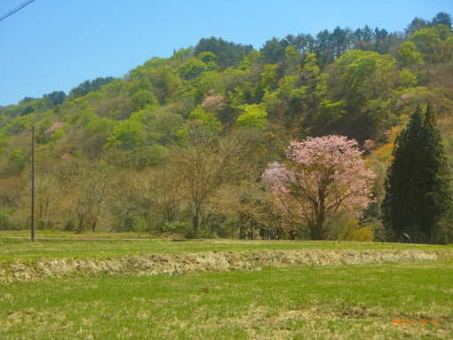 今年の山桜