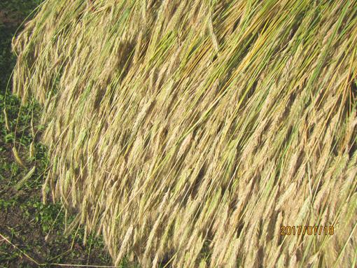 刈り取ったライ麦