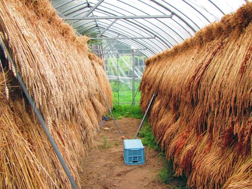 小麦乾燥中