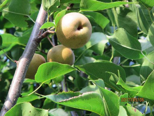 ハンベエナシの木の実