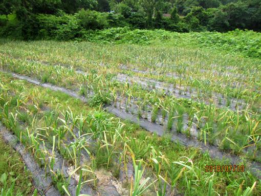 にんにくの収穫