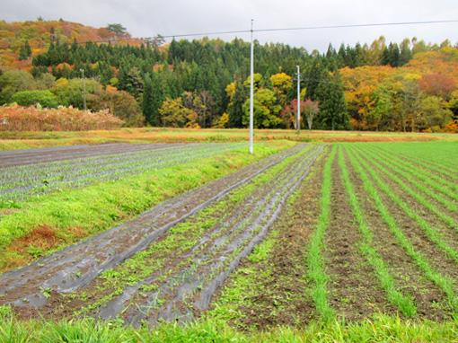 小麦にんにく生育中