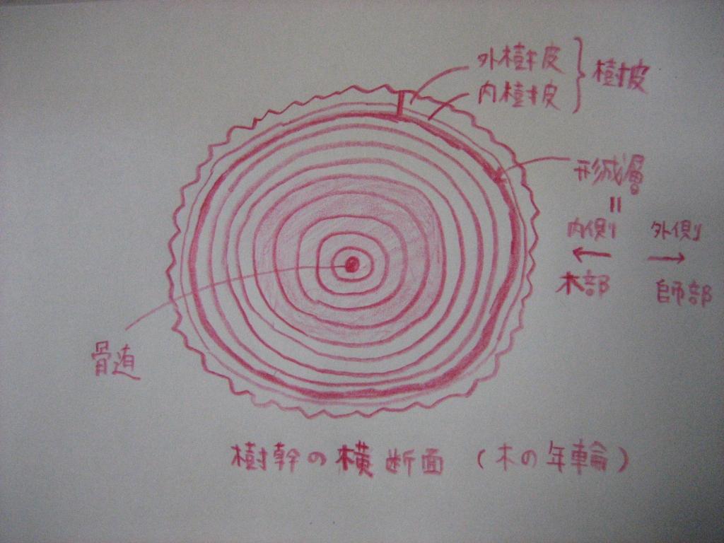 樹幹の横断面 年輪
