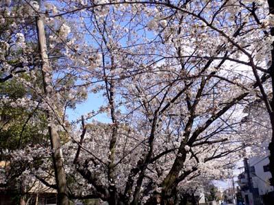 近所の桜並木2