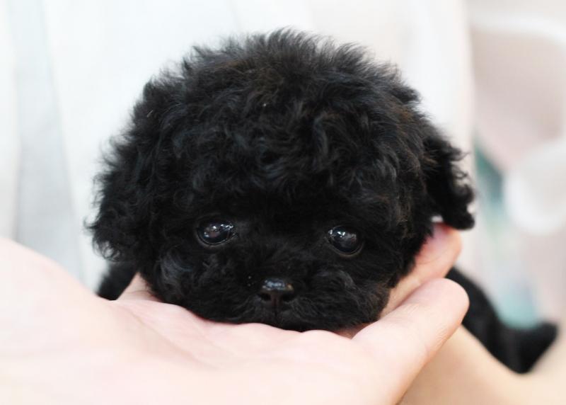 ①トイプードル 女の子 ブラック 5月24日生まれ