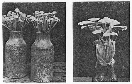 420207 エノキタケのびん栽培2