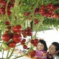 トマトの水耕栽培-えこりん村