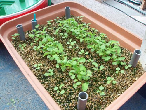 ルッコラ 養液栽培