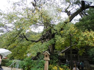 命主社のご神木、樹齢1000年の椋木