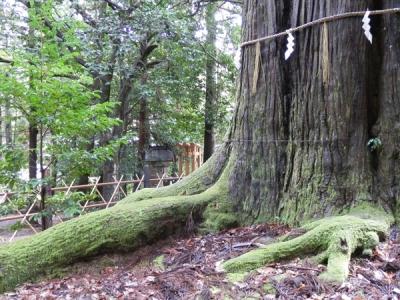 ご神木の大杉さん