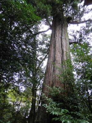 樹齢1200年のご神木大杉さん