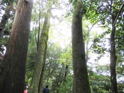 ご本殿裏の巨木の林