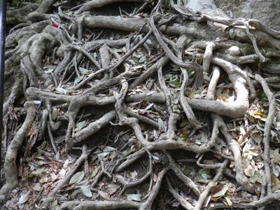幾重にも張り巡らされた木の根