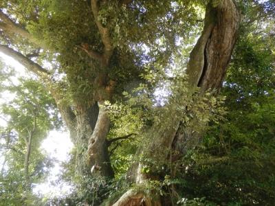立派な椎の木のご神木