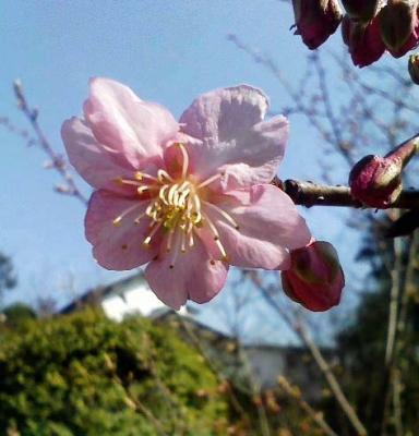 がっちゃん桜