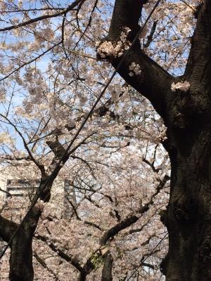 桜(2017年4月)