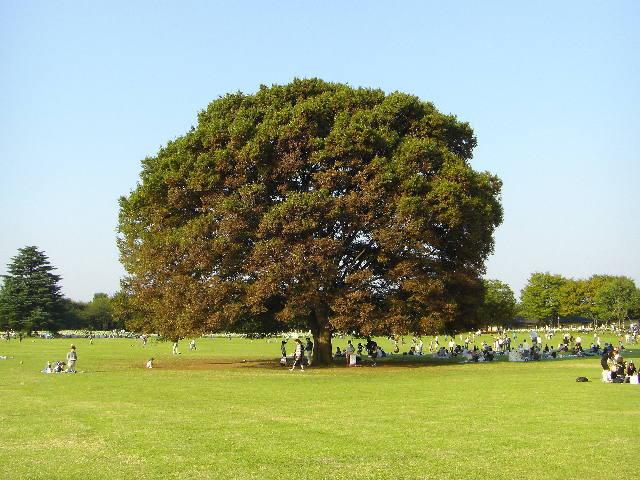 樹齢100年のケヤキ