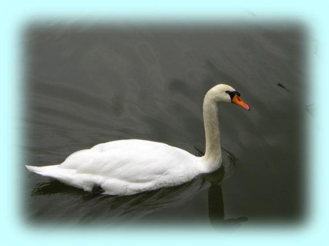 皇居の日比谷濠で悠々と泳ぐ白鳥。食事をするのにカモと取り合いになるなど、結構、忙しそうである。