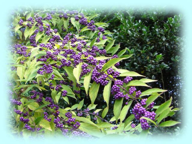 根津神社の脇に咲く紫式部