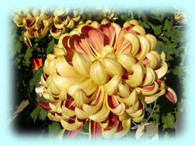 巴錦という菊で、花びらの内側が深紅、外側が黄金色と、非常に豪華である。