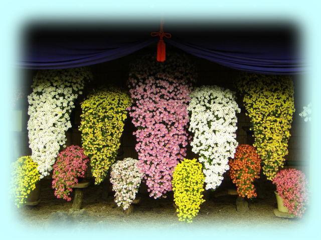 菊花壇展の大懸崖菊花壇