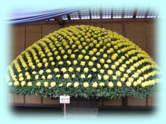 菊花壇展の大作り菊花壇。数百輪の菊花が咲いているが、これがたった一株の菊からできているとは!