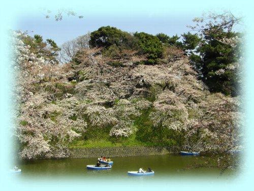 こちら側と皇居側の桜