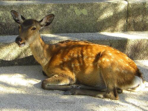 石灯籠の元で疲れてへたり込んでいるかわいそうな鹿