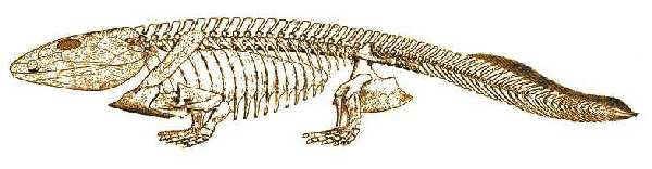 イクチオステガの骨格。内臓を保護するための肋骨があり、体を支えやすいように、足が真下に出ているところに注目したい。(出典) Palaeos