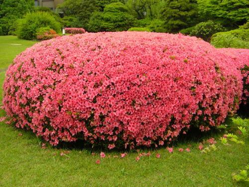 早稲田大学の大隈庭園のサツキ