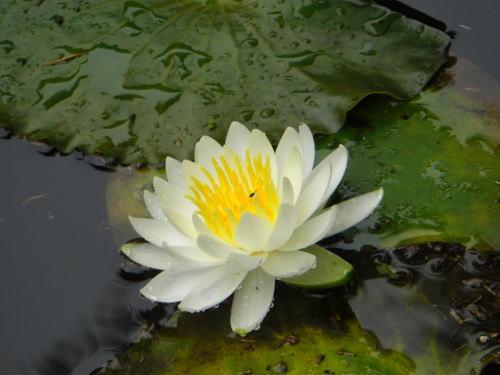 早稲田大学の大隈庭園の白スイレン。虫が写っている!