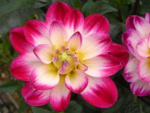 本郷構内のダリアらしき花