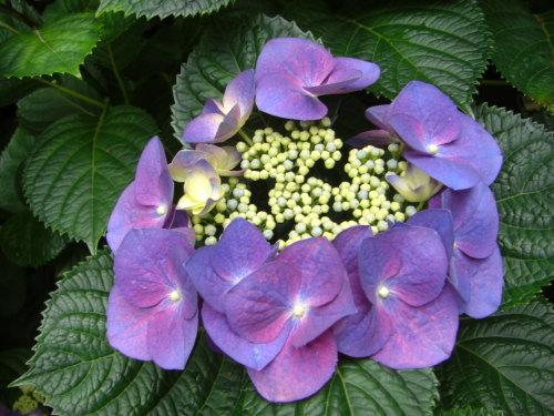 六義園の紫陽花