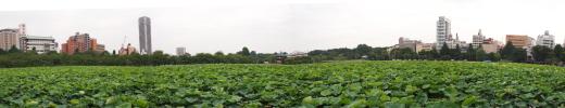 上野公園不忍池の蓮のパノラマ写真。