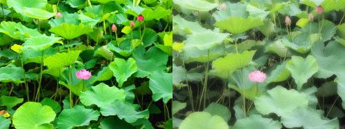 不忍池の蓮を普通に(左)、ファンタジックフォーカス・フィルター(右)で撮ったもの