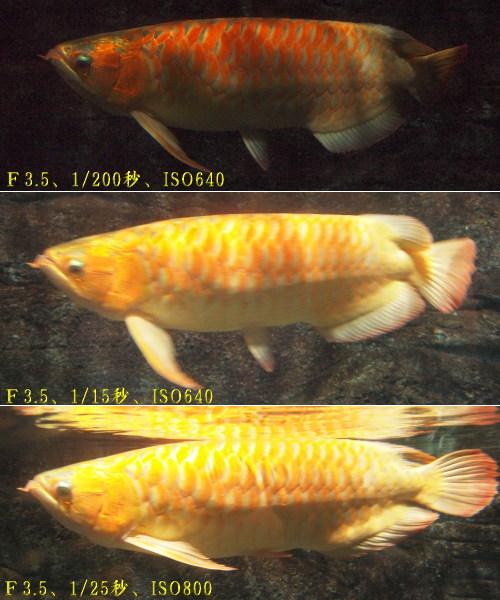 アジア・アロワナを3種類のシャッター速度で撮る。