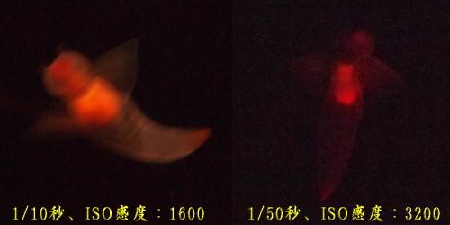 氷の妖精、クリオネ。絞り値:F5.5、シャッター速度:1/50秒、露出補正:+0.3、ISO感度:3200