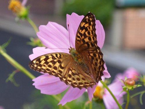 コスモスの蜜を吸う蝶