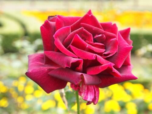パパ・メイアン。仏。メイアン。黒薔薇の有名品種。芳香あり。1963年