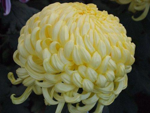 大菊花壇の厚物
