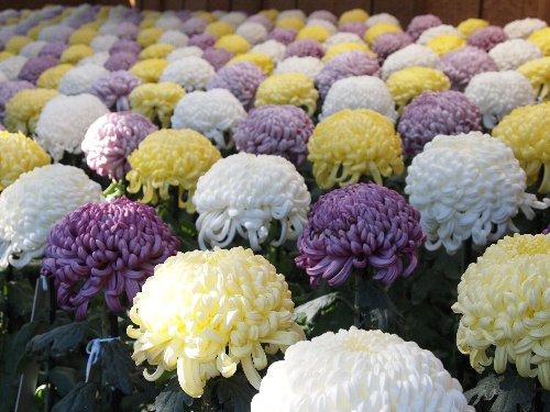 大菊花壇の「手綱植え」
