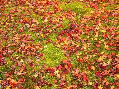 紅葉の落ち葉が苔に降り敷く