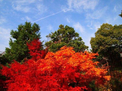 光明寺の紅葉と青空の中の一筋の飛行機雲