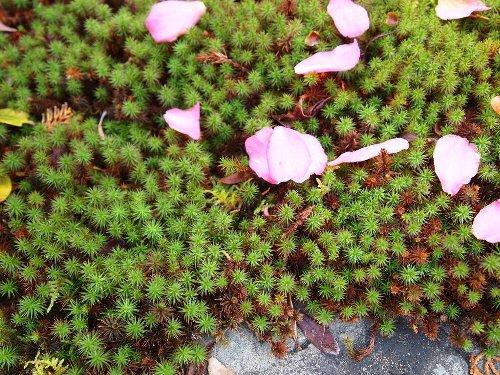 杉苔と椿の花びら